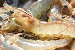 Sea-Catch-White-Shrimp