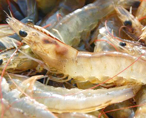 Sea Catch White Shrimp (Penaeus Indicus)