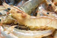 Sea-Catch-White-Shrimp